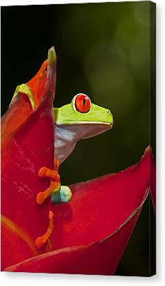 Canvas Print featuring the photograph Red Eyed Tree Frog 3 by Dennis Cox WorldViews