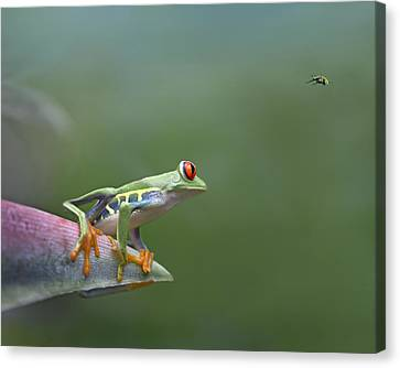 Red-eyed Tree Frog Eyeing Bee Fly Canvas Print