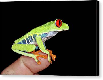 Red-eyed Tree Frog Canvas Print by Nicolas Reusens
