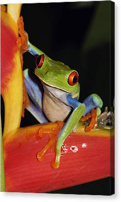 Red-eyed Tree Frog On Heliconia Costa Canvas Print