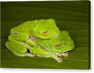 Red-eyed Tree Frogs In Amplexus Sleeping Canvas Print