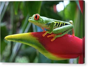 Red-eyed Treefrog Canvas Print by Andres Morya Hinojosa