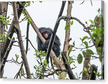 Red-faced Spider Monkey Canvas Print by Pan Xunbin