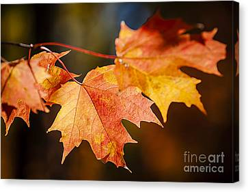Red Fall Maple Leaves Canvas Print by Elena Elisseeva