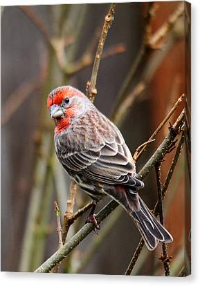Red Finch In Tree 4 Canvas Print by Rebecca Cozart