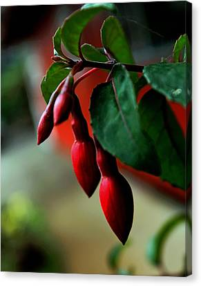 Red Flower Buds Canvas Print by Pamela Walton