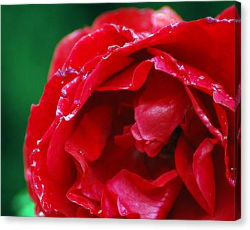 Red Flower Wet Canvas Print by Matt Harang