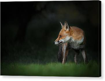 Red Fox Canvas Print by Andy Astbury