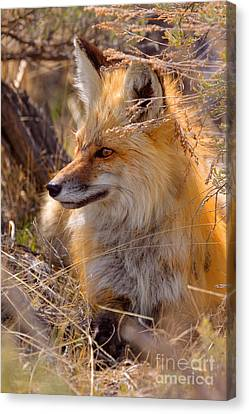 Canvas Print featuring the photograph Red Fox At Rest by Aaron Whittemore