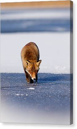 Red Fox Crossing A Frozen Lake Canvas Print by Roeselien Raimond