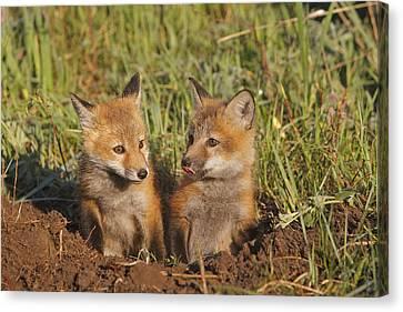Red Fox Cubs Canvas Print