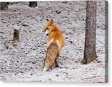 Red Fox Egg Thief Canvas Print