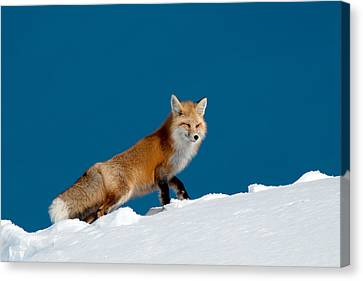 Red Fox Canvas Print by Gary Beeler