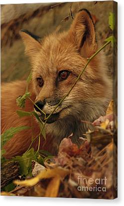 Shelley Myke Canvas Print - Red Fox In Autumn Leaves Stalking Prey by Inspired Nature Photography Fine Art Photography