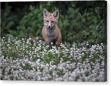 Red Fox In Clover Canvas Print