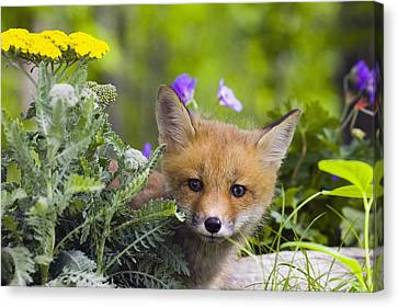 Red Fox Kit In Spring Wildflowers Canvas Print by Michael DeYoung
