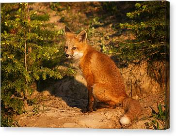 Red Fox Kit Canvas Print by Mark Kiver