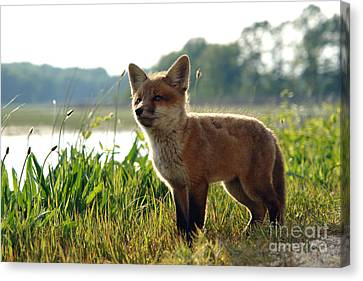 Red Fox Kit Canvas Print by Olivier Le Queinec