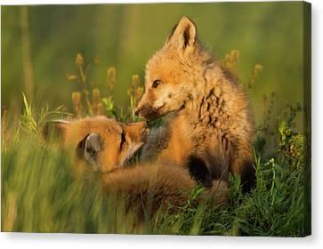 Fox Kit Canvas Print - Red Fox Kits by Ken Archer
