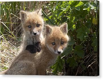 Red Fox Kits Playing Alaska Canvas Print by Matthias Breiter