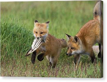Fox Kit Canvas Print - Red Fox Kits Playing With Bird Wing by Ken Archer