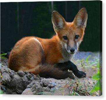 Red Fox Canvas Print by Kristin Elmquist