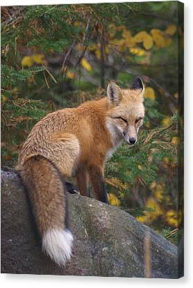 Canvas Print featuring the photograph Red Fox by James Peterson
