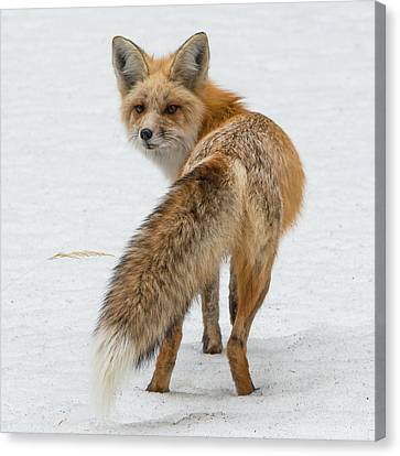Canvas Print featuring the photograph Red Fox Of Silver Gate by Yeates Photography