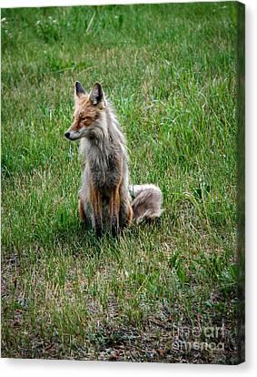 Red Fox Portrait Canvas Print by Robert Bales