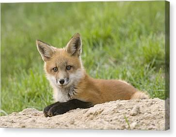Fox Kit Canvas Print - Red Fox Resting by Steve Gettle