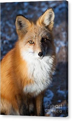 Red Fox Standing Canvas Print by John Wadleigh