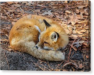 Canvas Print featuring the photograph Red Fox  by Trace Kittrell