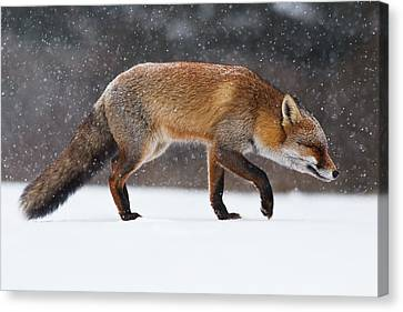 Red Fox Trotting Through A Snowshower Canvas Print by Roeselien Raimond