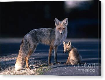 Fox Kit Canvas Print - Red Fox With Pup by William H. Mullins