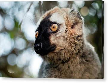 Red-fronted Brown Lemur Canvas Print by Alex Hyde
