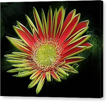Red Gazania Blossom Canvas Print by Bruce Bley