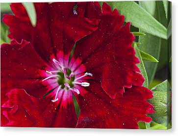 Red Geranium 1 Canvas Print by Steve Purnell