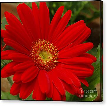 Red Gerbera Daisy Canvas Print by James C Thomas
