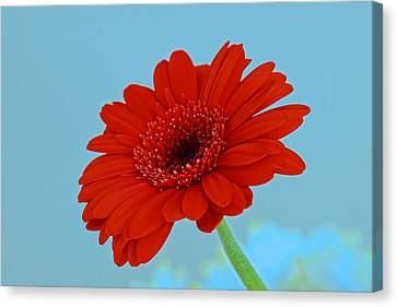 Red Gerbera Daisy Canvas Print by Scott Carruthers