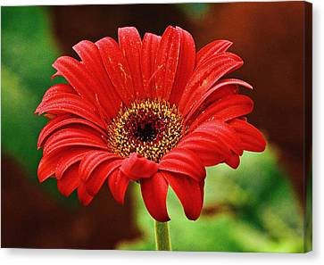 Red Gerbera Flower Canvas Print by Johnson Moya