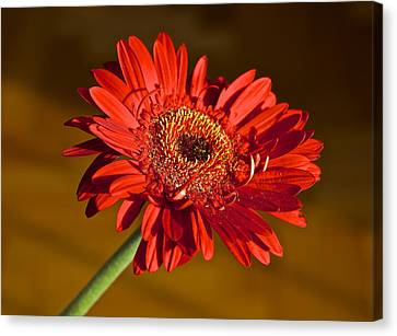 Red Gerbera Canvas Print by Venetia Featherstone-Witty