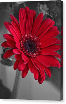 Red Gerberastudy Canvas Print