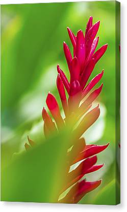 Canvas Print featuring the photograph Red Ginger Bract by Leigh Anne Meeks