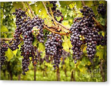 Red Grapes In Vineyard Canvas Print by Elena Elisseeva