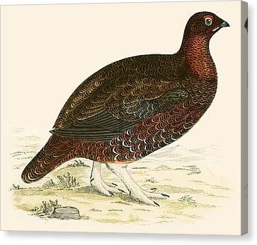Red Grouse Canvas Print by Beverley R Morris