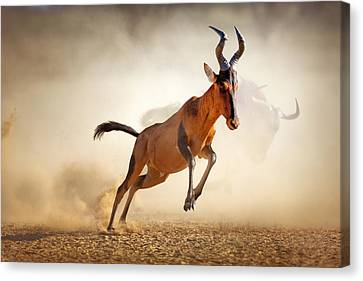 Red Hartebeest Running In Dust Canvas Print by Johan Swanepoel