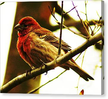 Red Headed House Finch Canvas Print by B Wayne Mullins