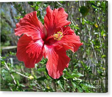 Red Hibiscus Blossom Canvas Print by Gary R  Photography