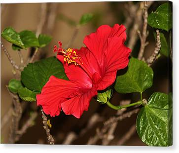 Red Hibiscus Flower Canvas Print by Cynthia Guinn