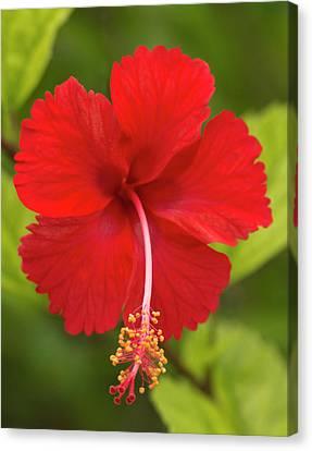 Red Hibiscus, Hibiscus Rosa-sinensis Canvas Print